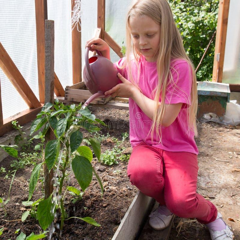 Muchacha que riega las plantas de tomate imagen de archivo libre de regalías