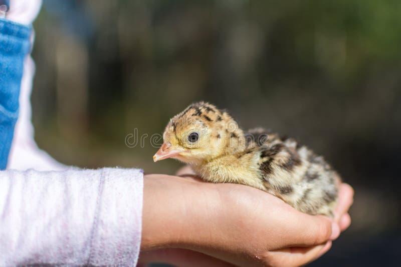 Muchacha que sostiene un polluelo recién nacido del pavo del bebé fotos de archivo libres de regalías