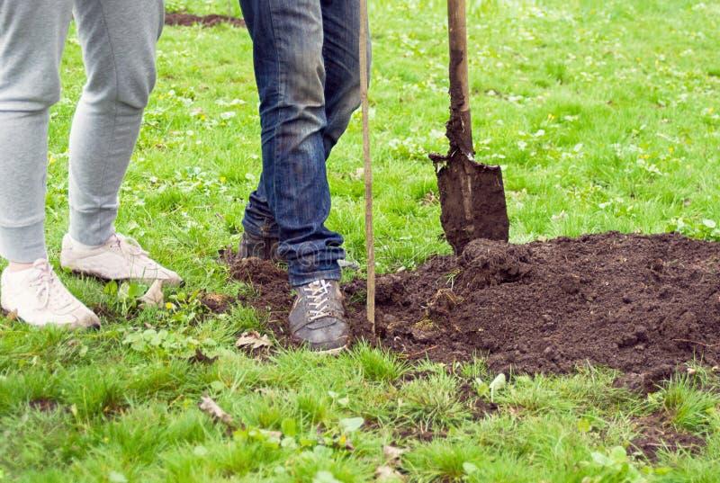 Muchacha y muchacho con una pala que plantan un árbol joven en el parque en el fondo de la hierba imagen de archivo libre de regalías