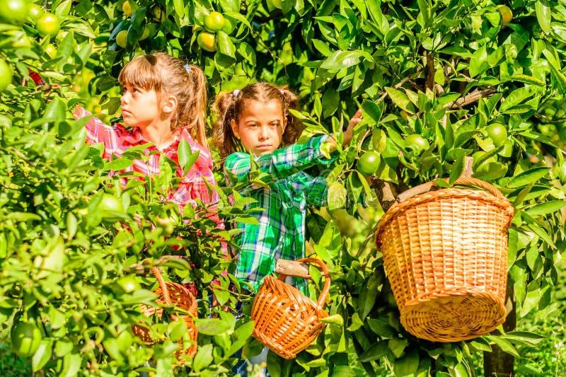 Muchachas de siete años que escogen clementinas de su jardín imagen de archivo libre de regalías