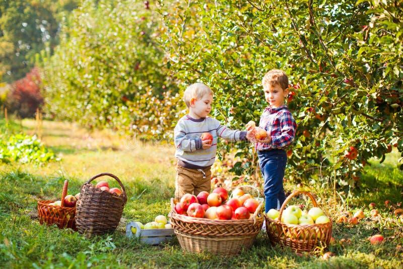 Muchacho curioso que llena su pequeña cesta de las manzanas imagenes de archivo
