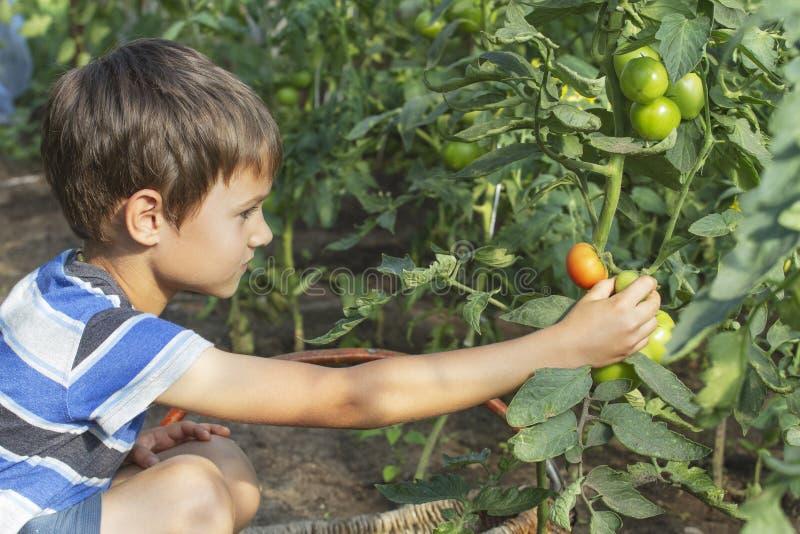 Muchacho feliz del niño que escoge verduras frescas de los tomates en invernadero en el día de verano Familia, jardín, cultivando imagen de archivo libre de regalías