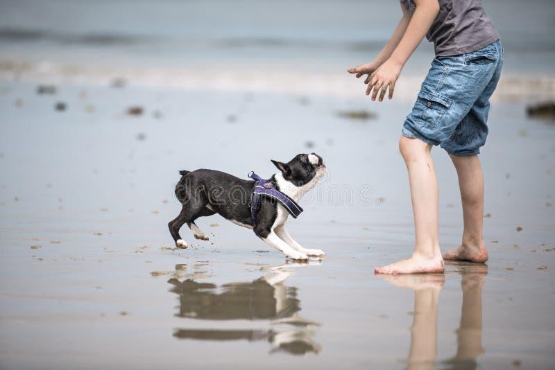 Muchacho que juega con Boston Terrier en la playa imágenes de archivo libres de regalías
