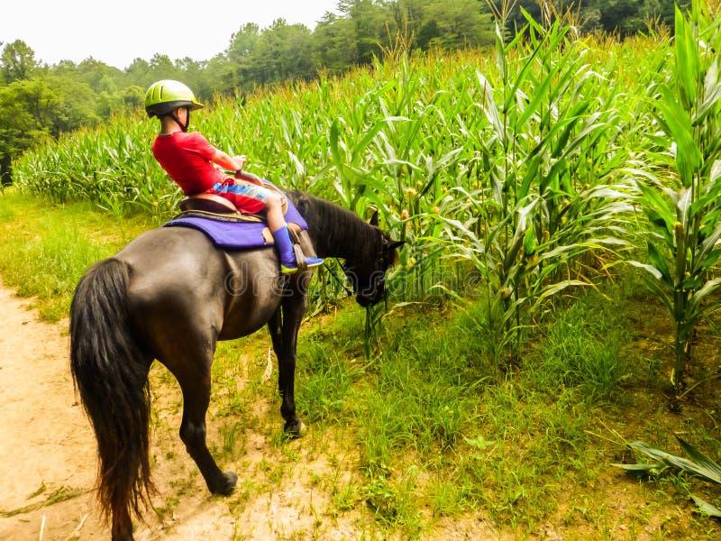 Muchacho que monta un caballo que es distraído por el campo de maíz sabroso imágenes de archivo libres de regalías
