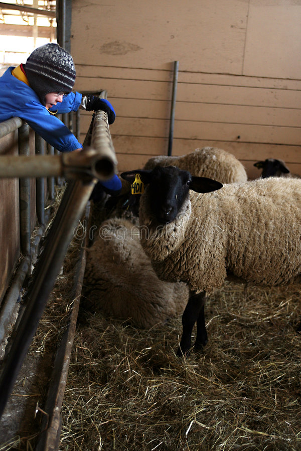 Muchacho que se inclina para tocar ovejas imagen de archivo