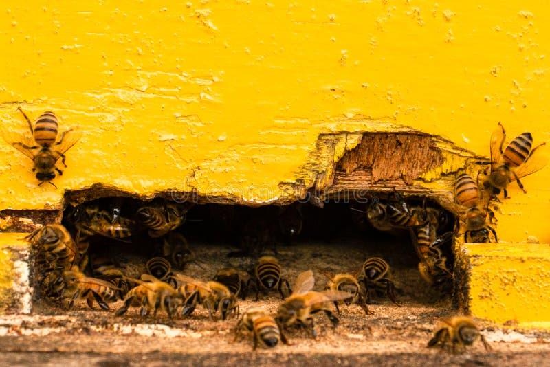 Muchas abejas que entran en una colmena foto de archivo