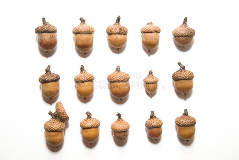 Muchas bellotas con los casquillos encendido sobre blanco fotografía de archivo