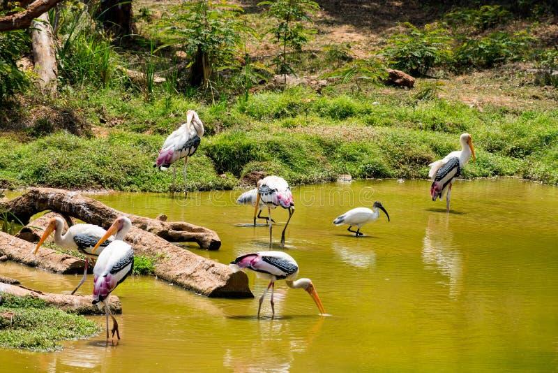 Muchas cigüeñas pintadas que buscan pescados en el agua en la opinión del cierre del parque zoológico imagen de archivo