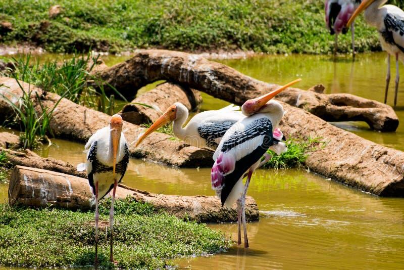 Muchas cigüeñas pintadas que buscan pescados en el agua en la opinión del cierre del parque zoológico fotos de archivo libres de regalías