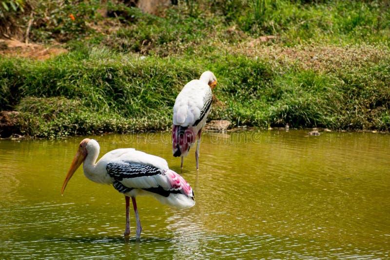 Muchas cigüeñas pintadas que buscan pescados en el agua en la opinión del cierre del parque zoológico imágenes de archivo libres de regalías