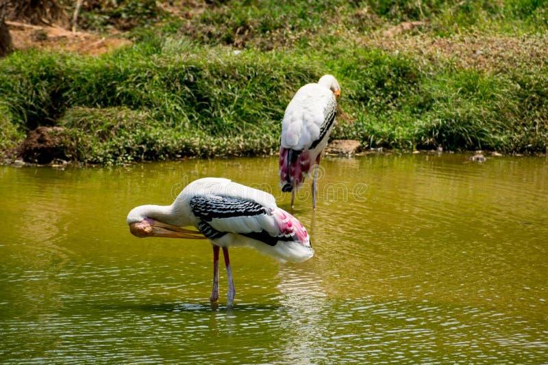 Muchas cigüeñas pintadas que buscan pescados en el agua en la opinión del cierre del parque zoológico imagenes de archivo