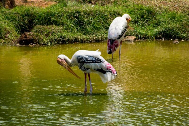 Muchas cigüeñas pintadas que buscan pescados en el agua en la opinión del cierre del parque zoológico fotos de archivo