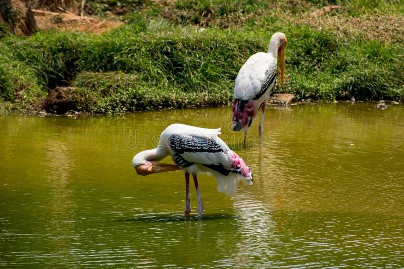 Muchas cigüeñas pintadas que buscan pescados en el agua en la opinión del cierre del parque zoológico imagen de archivo libre de regalías