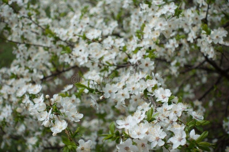 Muchas flores blancas del ciruelo de cereza fotografía de archivo