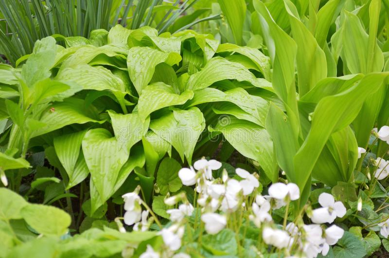 Muchas flores blancas del gloriole de las violetas en la primavera en el jardín al lado de una flor del hosta imágenes de archivo libres de regalías