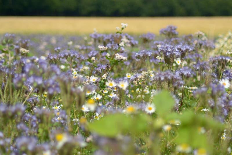 Muchas flores blancas y violetas en sol del verano fotografía de archivo