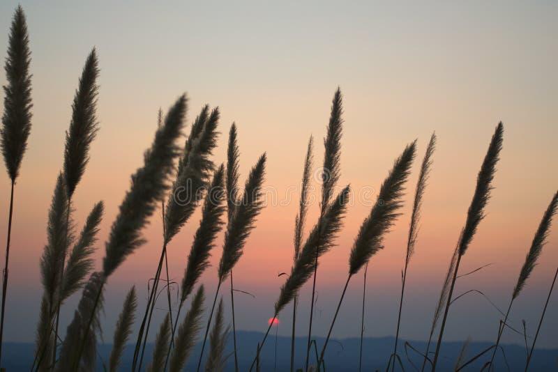 Muchas flores de la hierba suben en fila y el sol que se hunde en la nube detrás de la colina fotos de archivo libres de regalías