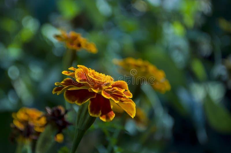Muchas flores de las maravillas en el macizo de flores del otoño fotografía de archivo libre de regalías