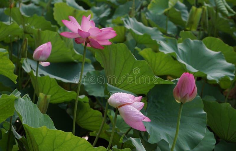 Muchas flores de loto están floreciendo en verano fotos de archivo