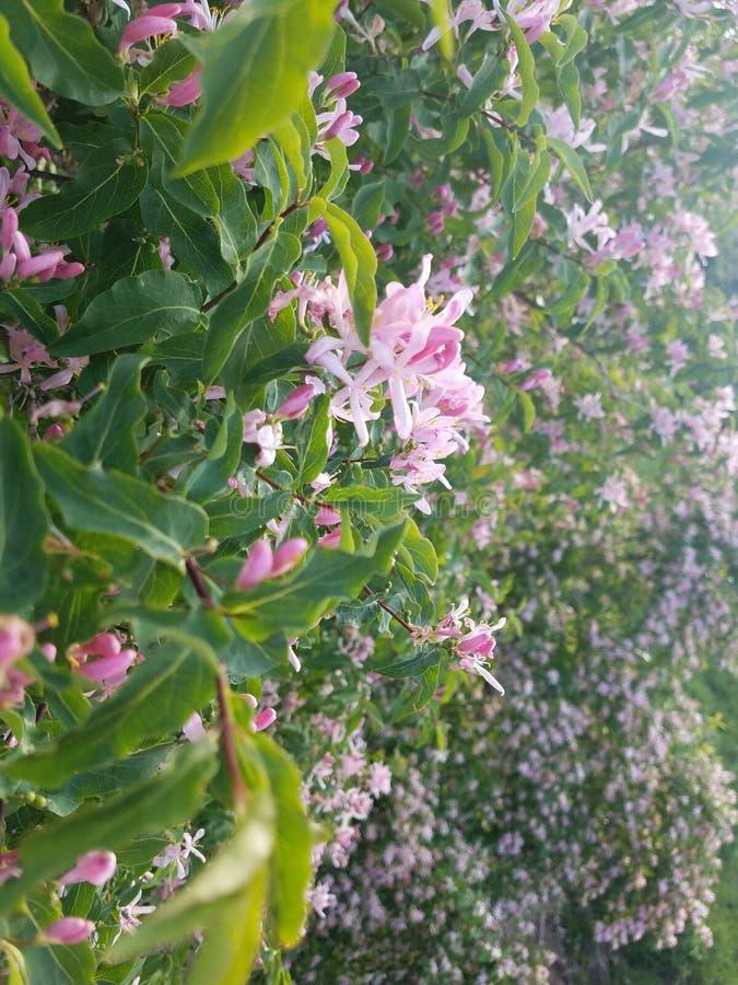 Muchas flores del rosa imagen de archivo libre de regalías