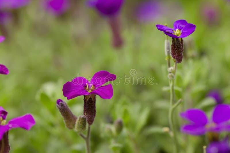 Muchas flores púrpuras del cultorum de Aubrieta foto de archivo