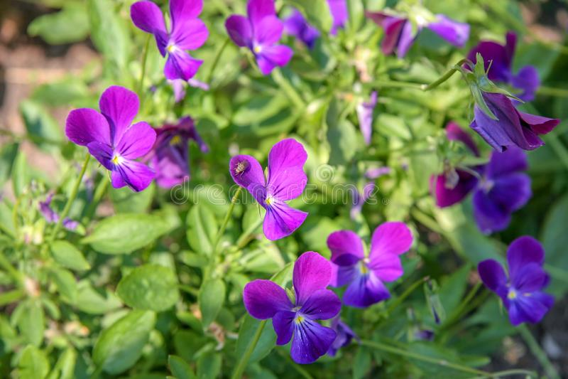 Muchas flores púrpuras hermosas en la forma de una mariposa Foco selectivo imagen de archivo
