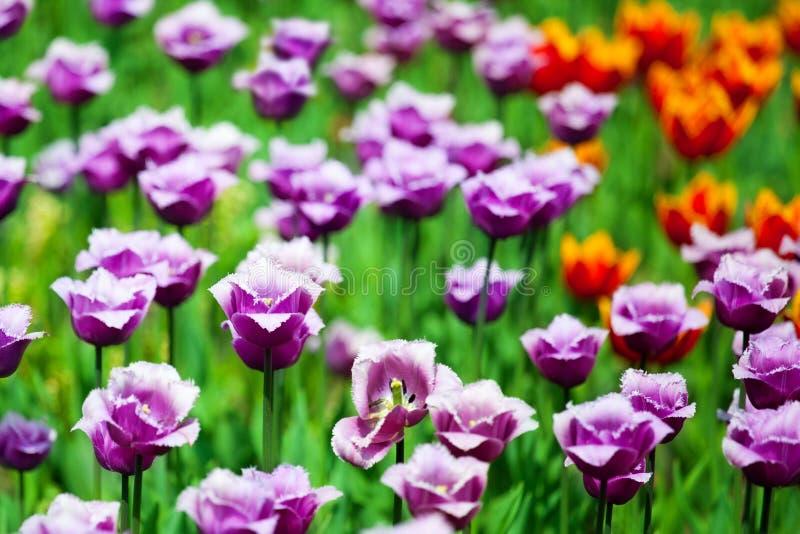 Muchas flores púrpuras y rojas de los tulipanes en el primer borroso del fondo, campo floreciente con los tulipanes violetas, pra imagen de archivo