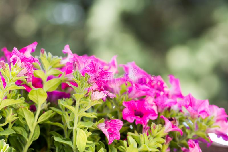 Muchas flores rosadas en el jardín imagen de archivo libre de regalías