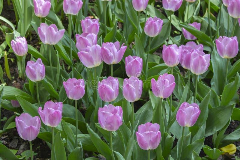 Muchas flores varietales del jardín del rosa de la lila de la lila de tulipanes Los tulipanes tempranos de las flores de la prima foto de archivo