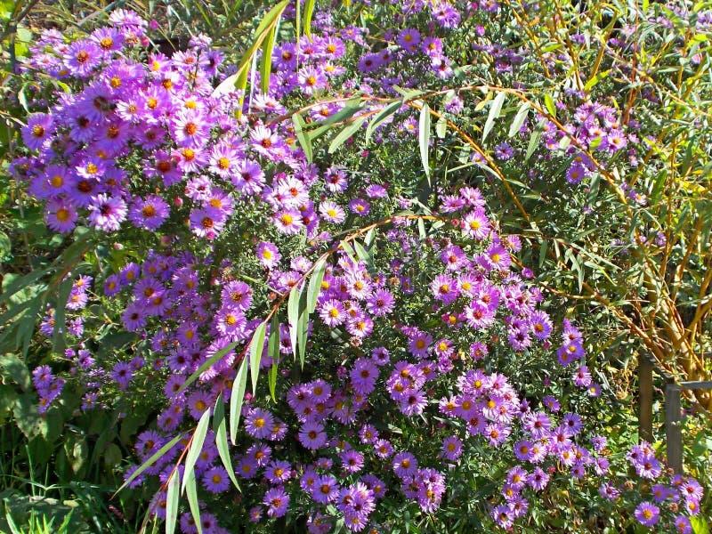 Muchas flores violetas entre árboles e hierba fotografía de archivo