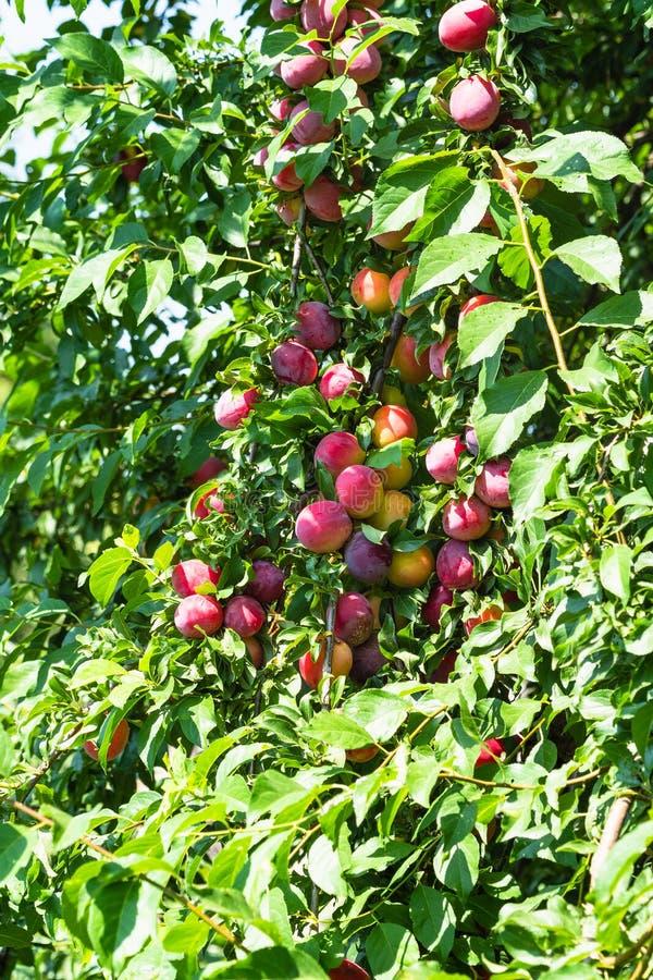 muchas frutas maduras en la rama del árbol de ciruelo fotos de archivo