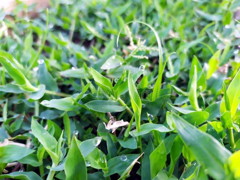Muchas gotas de lluvia en las pequeñas hojas verdes imagen de archivo