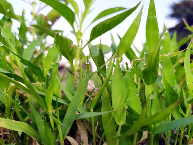 Muchas gotas de lluvia en las pequeñas hojas verdes fotografía de archivo