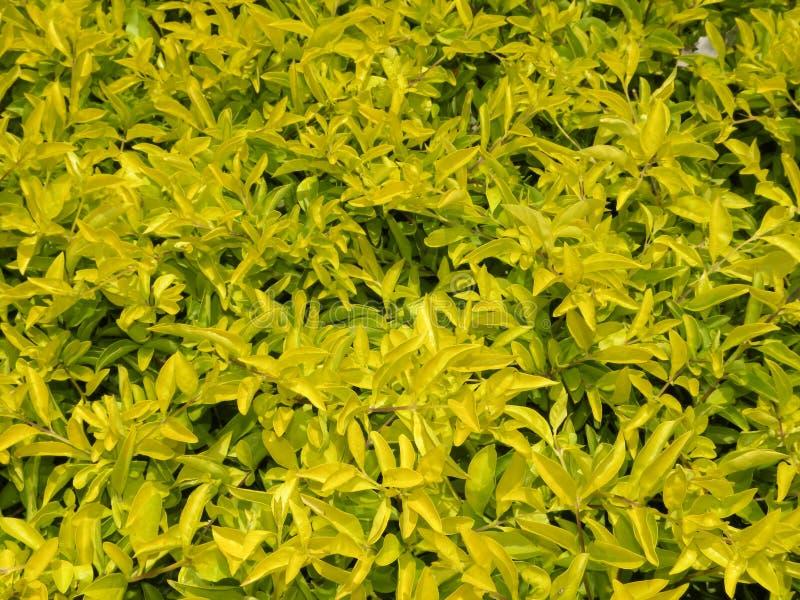 Muchas Hojas Amarillas Brillantes Del Color De Las Plantas De La ...