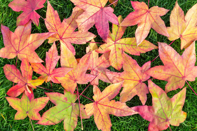 Muchas hojas de arce coloridas del otoño en hierba verde imagen de archivo