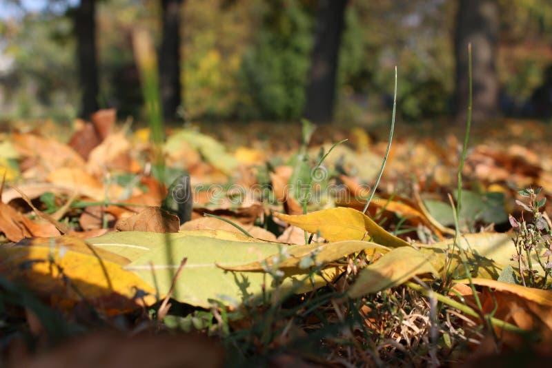 Muchas hojas de otoño en el parque, bosque imagenes de archivo