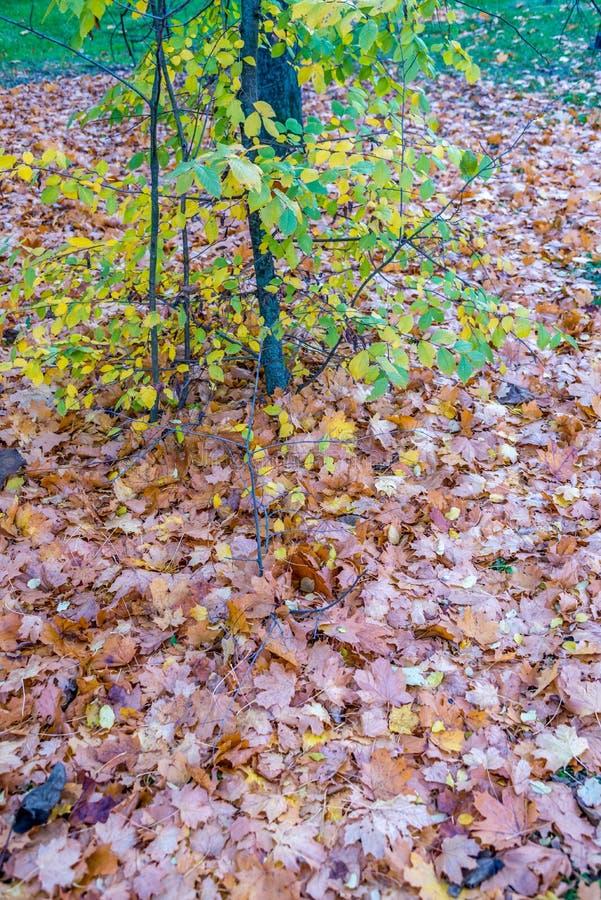Muchas hojas secas debajo del pequeño árbol en noviembre fotos de archivo libres de regalías