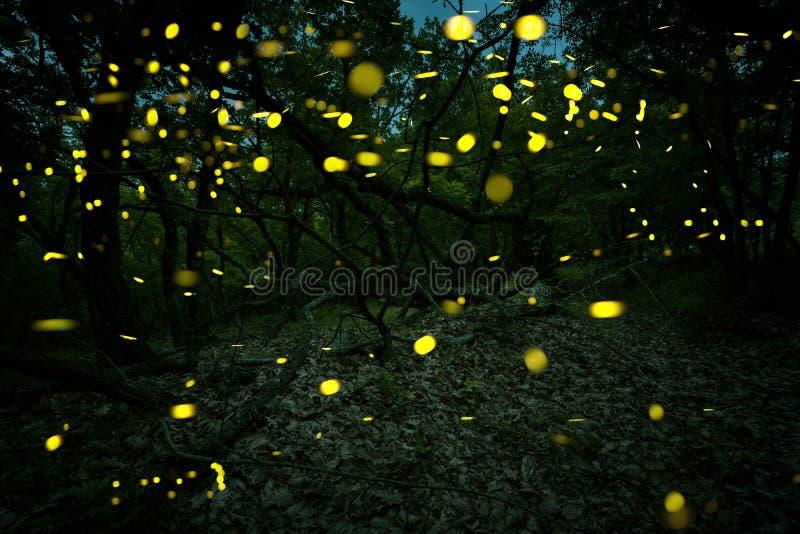 Muchas luciérnagas en el verano en el bosque de hadas fotografía de archivo