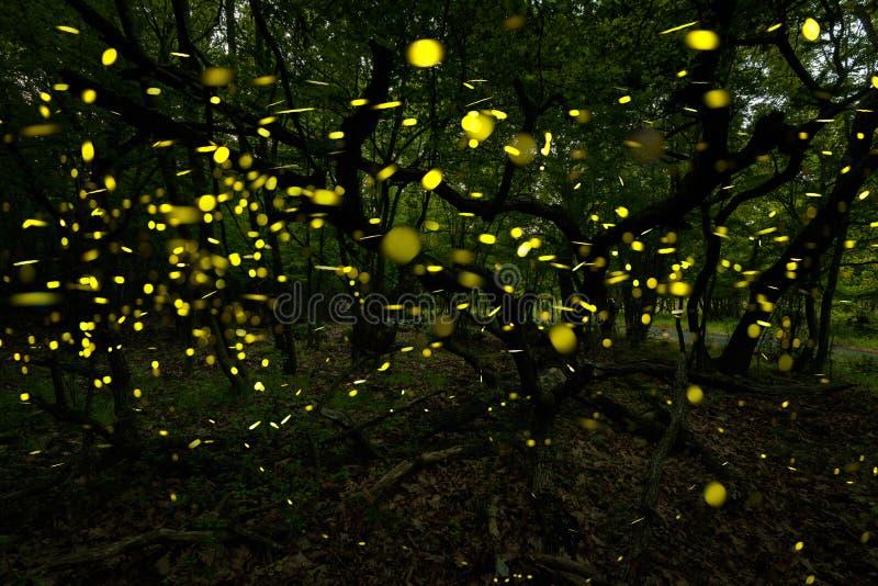 Muchas luciérnagas en el verano en el bosque de hadas fotos de archivo libres de regalías