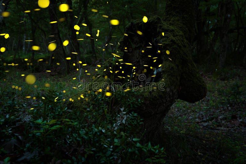 Muchas luciérnagas en el verano en el bosque de hadas foto de archivo