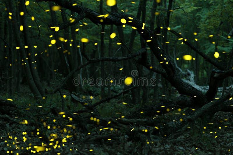 Muchas luciérnagas en el verano en el bosque de hadas imágenes de archivo libres de regalías