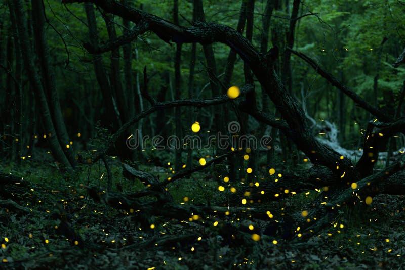 Muchas luciérnagas en el verano en el bosque de hadas foto de archivo libre de regalías