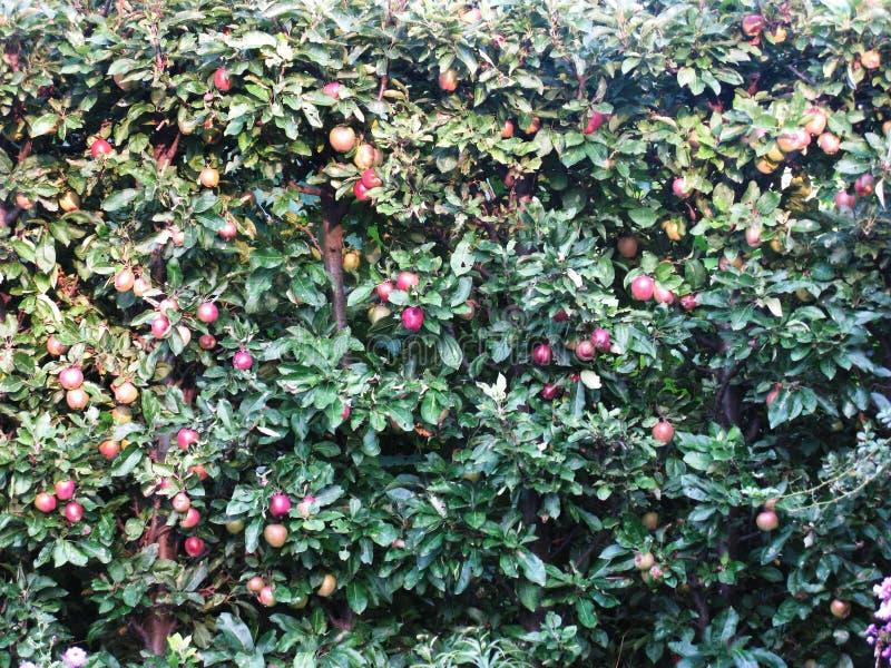 Muchas manzanas rojas maduraron en un manzano imágenes de archivo libres de regalías
