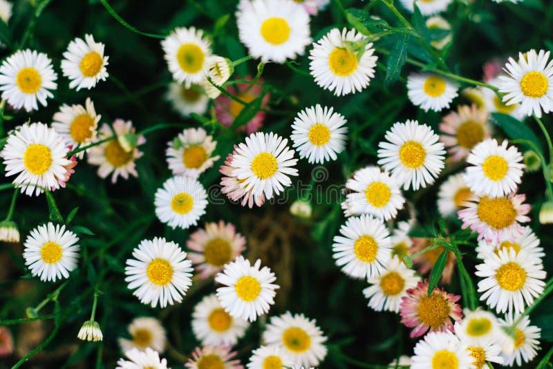 Muchas margaritas blancas en la opinión superior del prado Primer de la visión superior y de las flores imágenes de archivo libres de regalías
