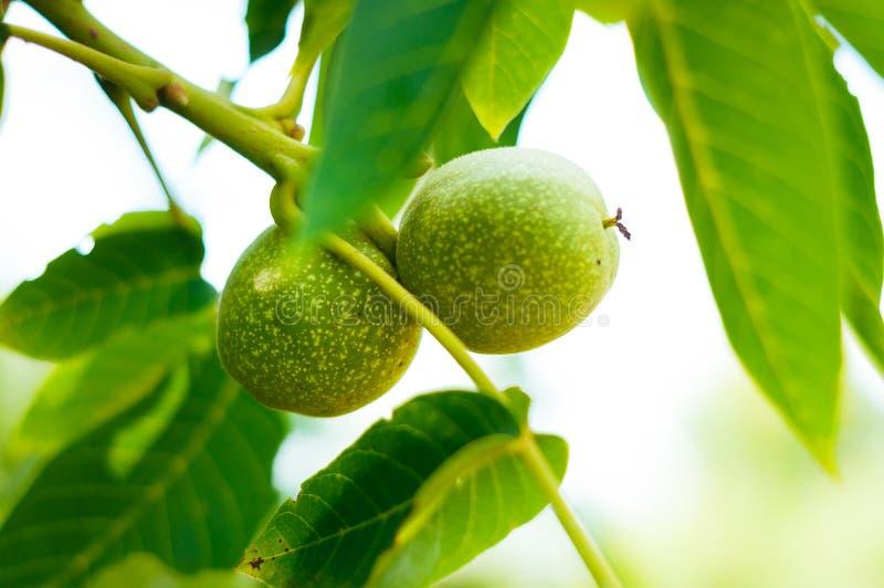 Muchas nueces en el árbol en la puesta del sol ?rbol de nueces Cosecha de nueces imagen de archivo