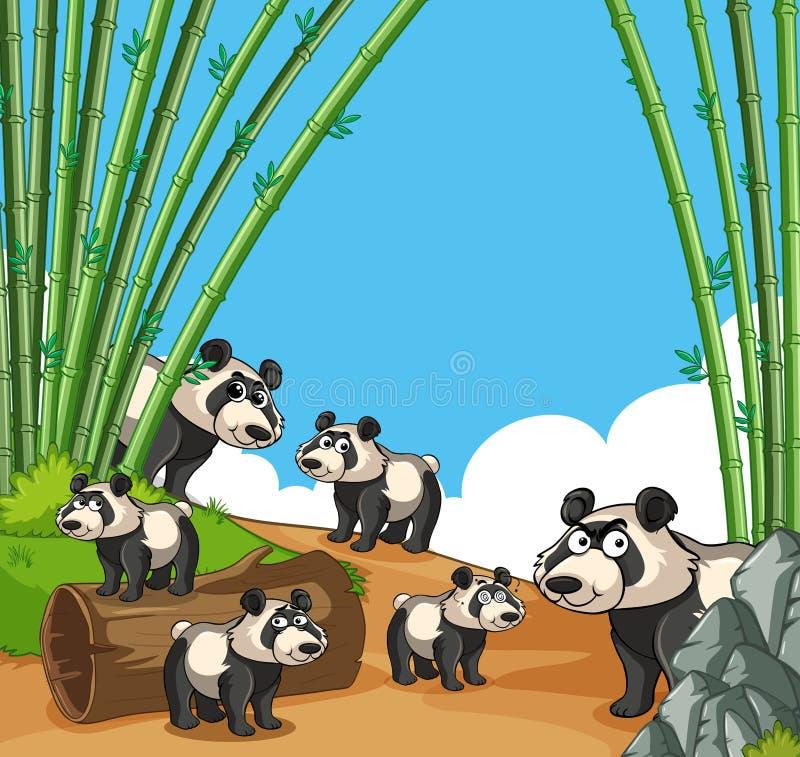 Muchas pandas en el bosque de bambú imagenes de archivo