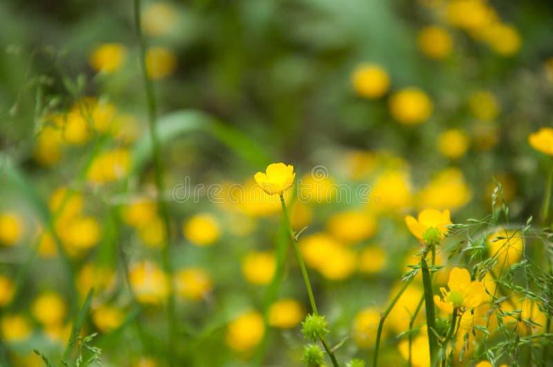 Muchas pequeñas flores amarillas crecen en el verano en el césped foto de archivo