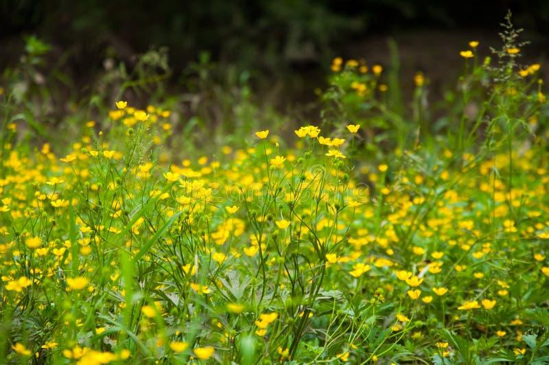 Muchas pequeñas flores amarillas crecen en el verano en el césped foto de archivo libre de regalías