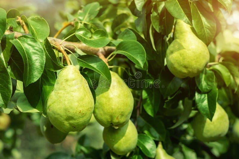 Muchas peras jugosas sabrosas maduras grandes que crecen en árbol en huerta Fondo natural de la bio fruta orgánica sana Concepto  fotos de archivo