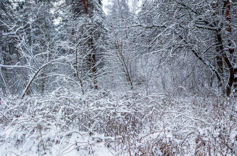 Muchas ramitas finas cubiertas con nieve Bosque nevoso del invierno hermoso imagen de archivo